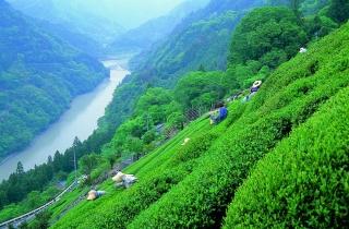 茶畑(天龍村)