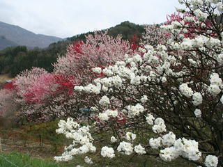 花桃(大鹿村)