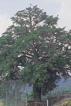 鳥屋同志のカヤの木