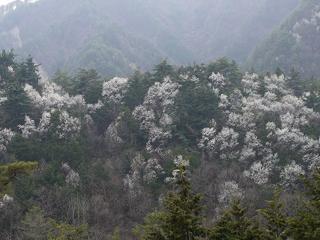こぶし(豊丘村)