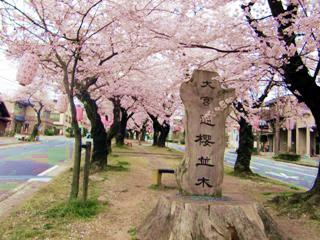 飯田市大宮通りの桜