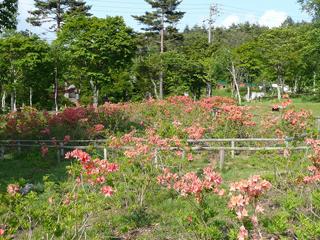 レンゲツツジ(阿智村)