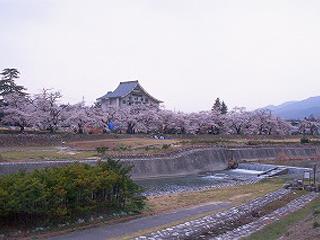 松川プールの桜