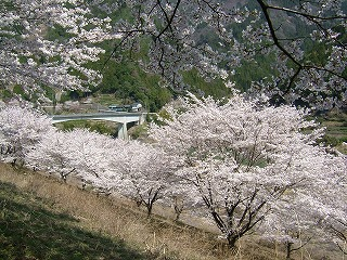 仁善寺の桜