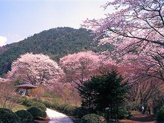 野底山森林公園の桜