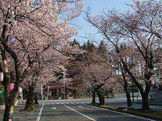 大宮通りの桜