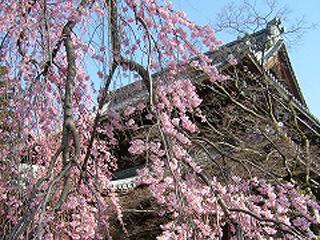 正永寺の桜