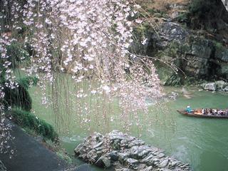 天竜峡の桜