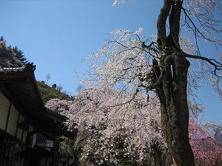 説教所の大桜