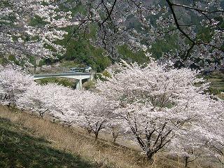 ソメイヨシノ(仁善寺)