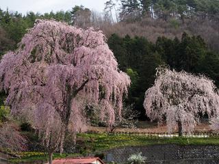 氏乗の桜(喬木村)