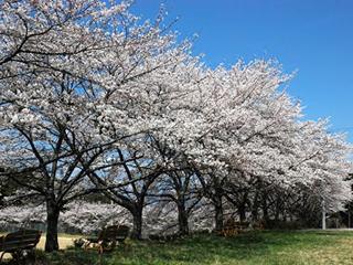 泰阜村民グランドの桜