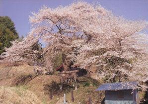 愛宕様の小彼岸桜(阿南町)