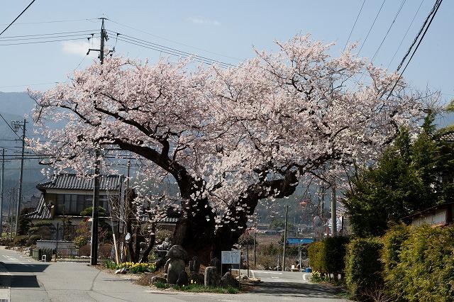 原田の桜(松川町)