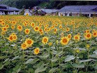 8月 ヒマワリ(平谷村)