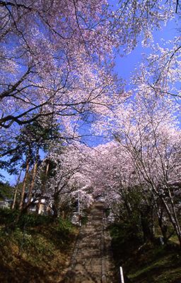 飯沼石段桜(飯田市)