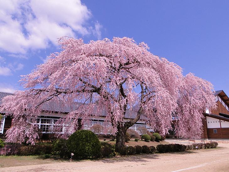 杵原学校の枝垂れ桜(飯田市)