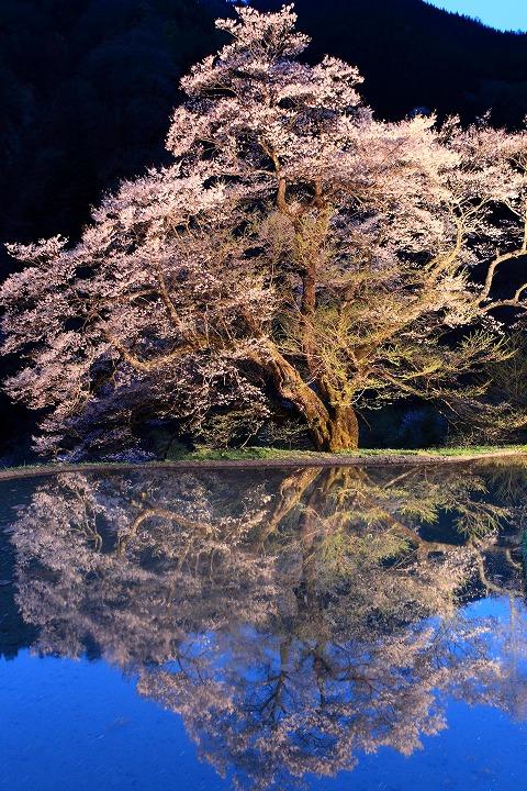 駒つなぎの桜(阿智村)