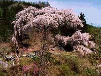 黒船桜(阿智村清内路)