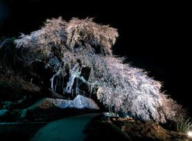 くよとの枝垂れ桜(飯田市)