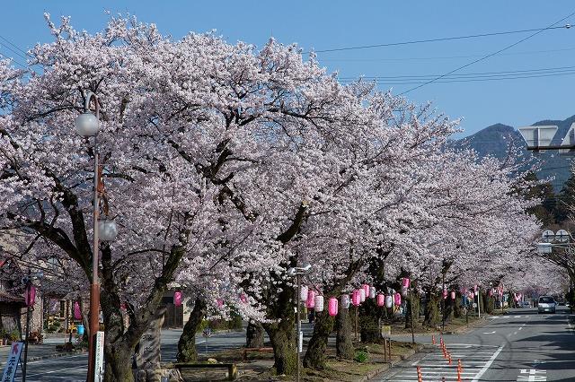 大宮通り桜並木(飯田市)