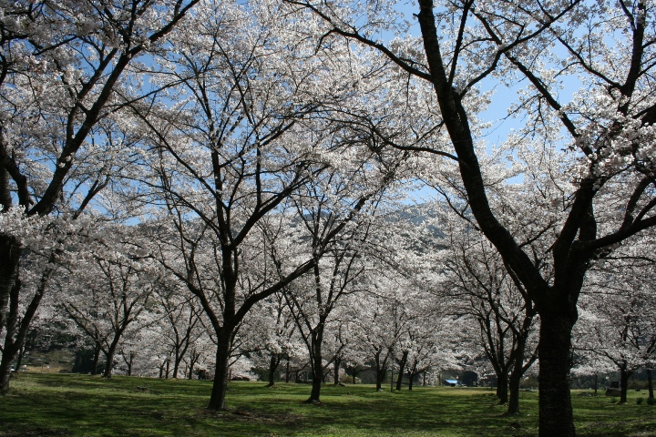 大西公園の桜(大鹿村)