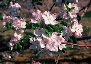 5月 リンゴ(松川町)