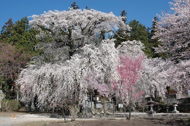 瑠璃寺の桜(高森町)