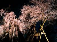 桜丸の夫婦桜(飯田市)