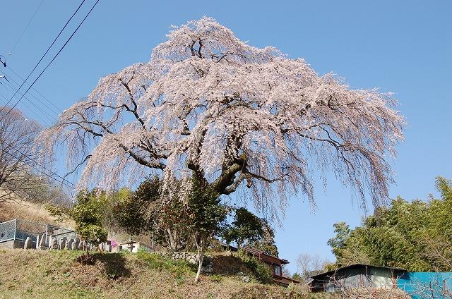 笹見平の枝垂れ桜(豊丘村)