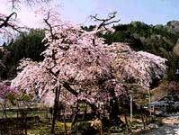 清南寺の夫婦桜(阿智村清内路)