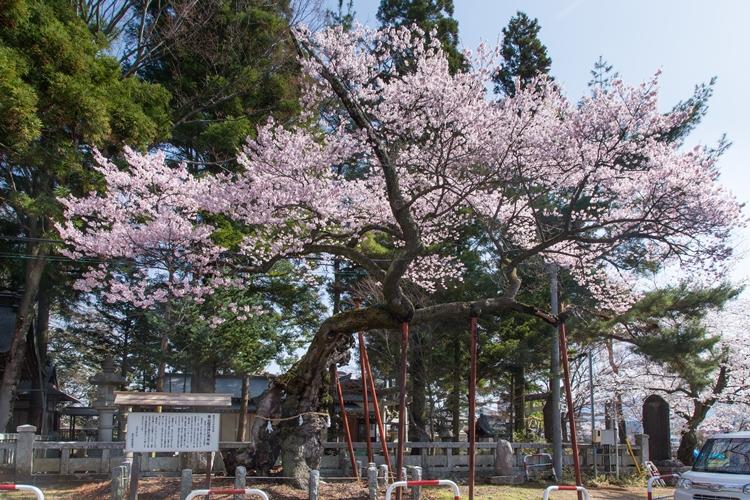 清秀桜(飯田市)