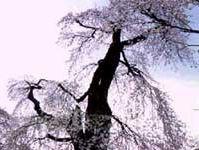 説教所の大桜(阿智村清内路)