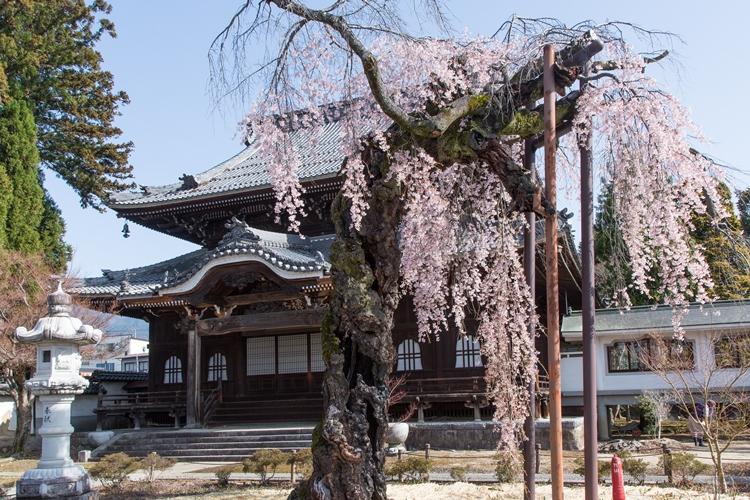 正永寺の枝垂れ桜(飯田市)