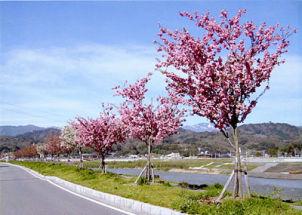 天龍峡桜街道(飯田市)