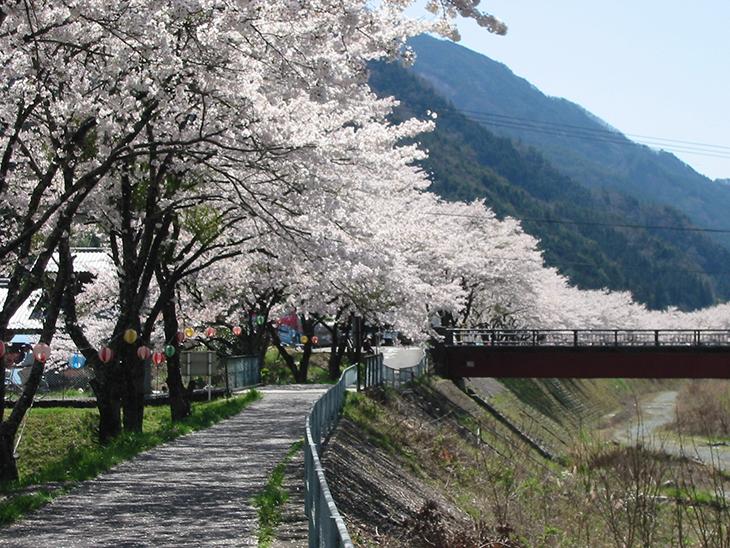 遠山桜(飯田市南信濃)