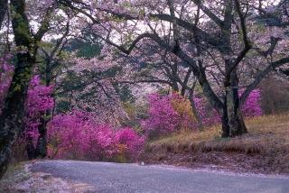 4月 ツツジ(飯田市鈴岡公園)