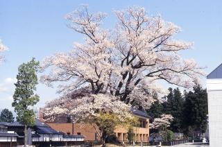 安富桜(飯田市)