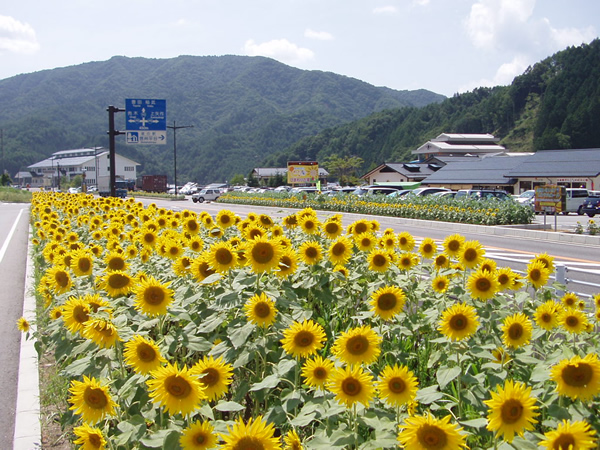 ヒマワリ(平谷村)