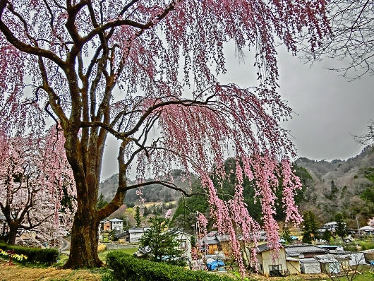 4-10 ⑲氏乗の枝垂れ桜 88