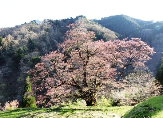 4-11 ㉓駒つなぎの桜 98