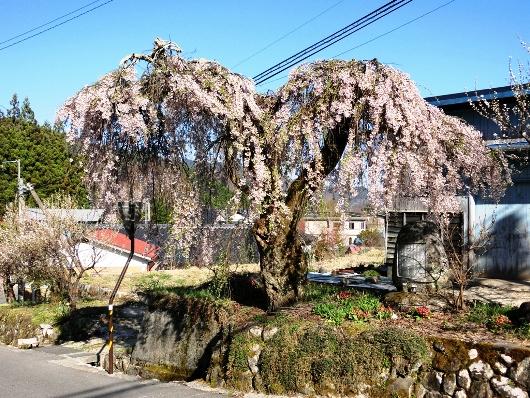 4-19 ①首検分碑の桜 78