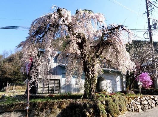 4-19 ②首検分碑の桜 80