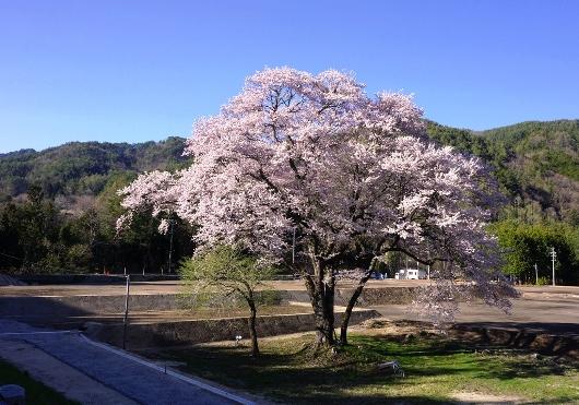 4-19 ④新御所桜 72