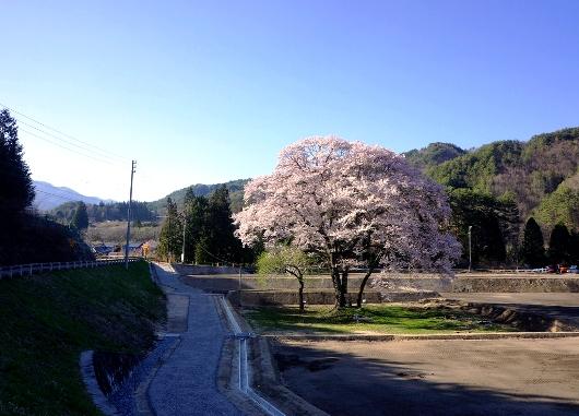 4-19 ⑤新御所桜 71