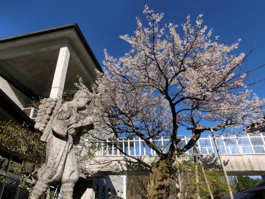 4-19 ⑦あおいの桜 11