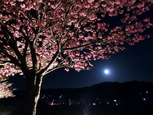 4-22 ③満月と八重桜 89