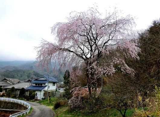 4-24 ⑫薬師堂の桜 436