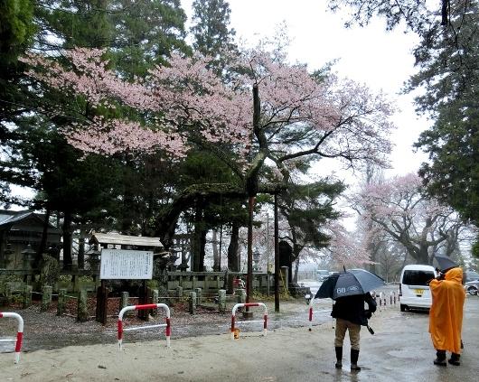 4-7 ①雨の清秀桜 14