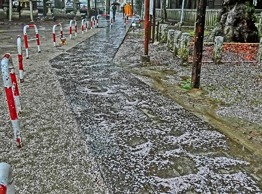 4-7 ②雨の散り桜 24